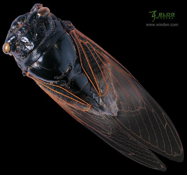 ps抠图教程:通道抠蝉透明的翅膀